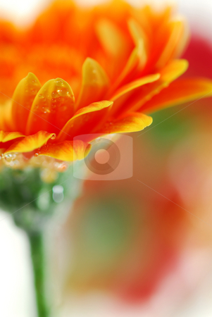 Gerbera flowers stock photo, Extereme macro image of a gerbera flower with dew drops by Elena Elisseeva