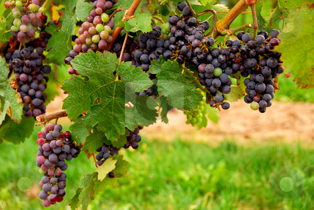 Grapes stock photo, Bunches of red grapes growing on a vine by Elena Elisseeva