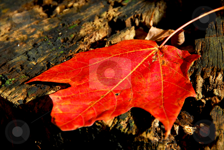 Maple leaf stock photo, Red maple leaf on old tree stump by Elena Elisseeva