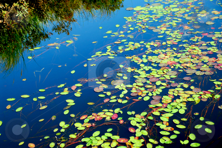 Lily pads stock photo, Lily pads on blue water by Elena Elisseeva