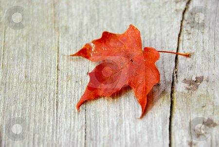 Maple leaf fall stock photo, Closeup on red maple leaf on wood background by Elena Elisseeva