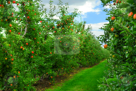 Apple orchard stock photo, Apple orchard with red ripe apples on the trees under blue sky by Elena Elisseeva