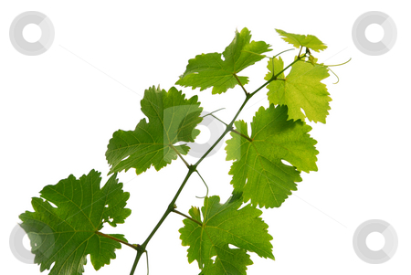 Grape vine stock photo, Branch of grape vine on white background by Elena Elisseeva