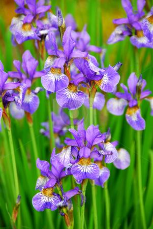 Irises stock photo, Beautiful purple irises blooming in spring time by Elena Elisseeva
