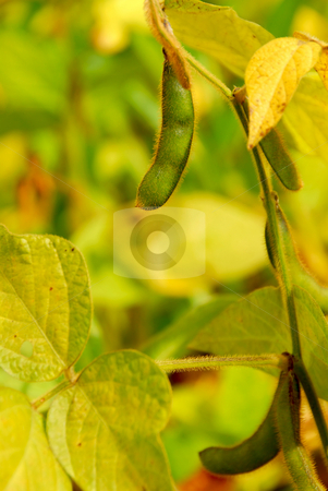 Soybeans stock photo, Soy beans growing on a soybean plant in a field by Elena Elisseeva