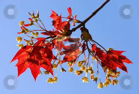 Maple branch stock photo, Branch of a blooming red maple tree with young leaves by Elena Elisseeva