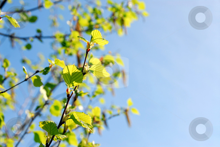 Spring branches stock photo, Background with spring birch branches and blue sky by Elena Elisseeva