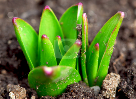 Spring shoots stock photo, Shoots of spring perennial flowers  in early spring garden by Elena Elisseeva