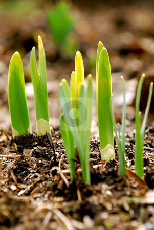 Spring shoots stock photo, Shoots of spring flowers in early spring garden by Elena Elisseeva