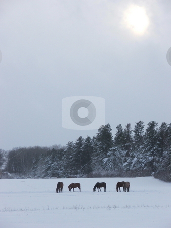 Winter horse grazing stock photo, Horses graze on a snow covered field as the sun tries to break through the clouds on an early spring afternoon in north central Minnesota. by Dennis Thomsen