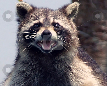 Raccoon Bandit stock photo, Close up of Raccoon by Marburg