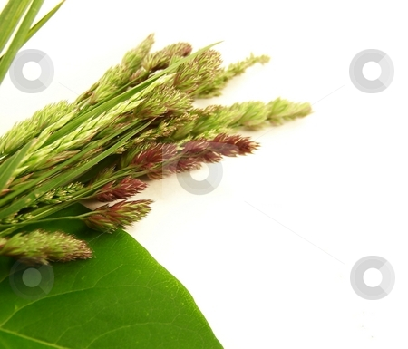 Wild Grasses stock photo, Image of different types of wild grasses, with a green lilac leaf.  Focus is on different seeds. by Jill Oliver