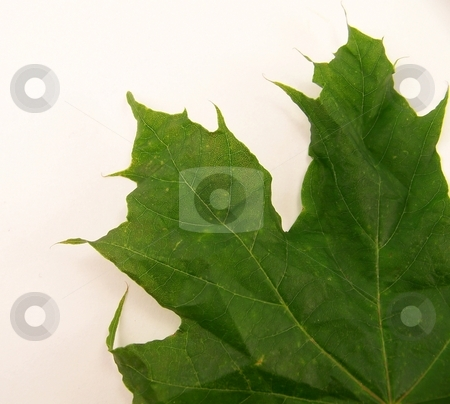 Wrinkled Green Maple Leaf stock photo, Close up of a bright green, wrinkled, maple leaf. by Jill Oliver