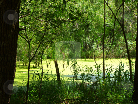 Texas Swamp stock photo, Texas swamp with water covered by algae by Marburg