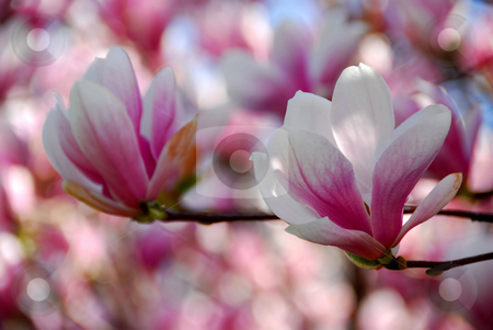Magnolia flowers stock photo, Closeup of magnolia flowers by Elena Elisseeva