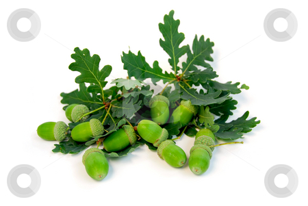 Acorns oak branches stock photo, Acorns and oak branches on white background by Elena Elisseeva