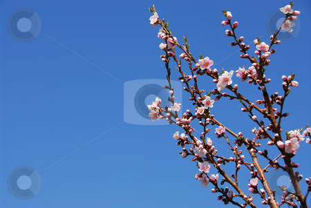 Blooming peach tree stock photo, Branches of blooming peach tree by Elena Elisseeva
