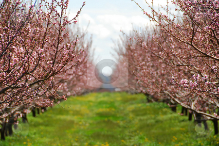 Blooming peach orchard stock photo, Blooming peach orchard in spring by Elena Elisseeva