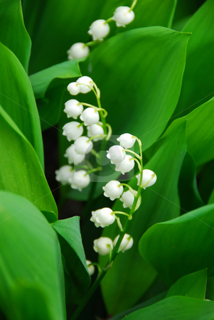 Lily-of-the-valley closeup stock photo, Blooming Lily-of-the-valley closeup by Elena Elisseeva