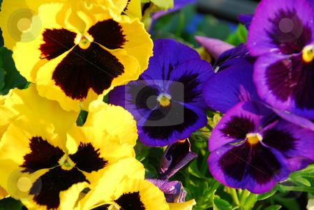 Pansies stock photo, Pansies close up by Elena Elisseeva