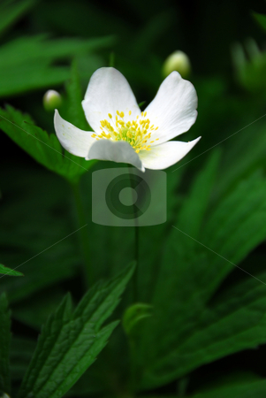 Wood anemone stock photo, Spring wild flower wood anemone close up by Elena Elisseeva