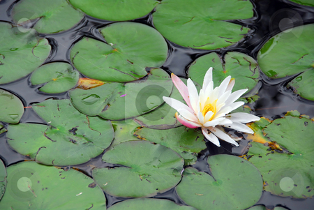 Water lily stock photo, Blooming water lily by Elena Elisseeva