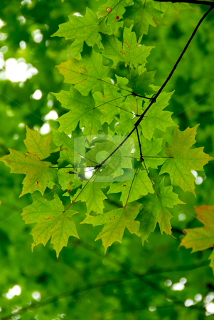 Maple leaves green stock photo, Branch of a maple tree with green leaves by Elena Elisseeva