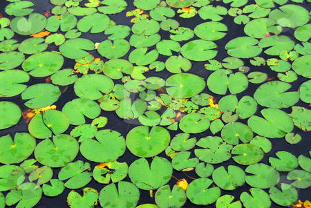 Lily pads background stock photo, Pattern of green lily pads on a lake, background by Elena Elisseeva