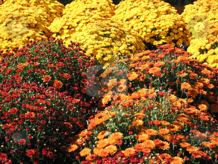 Colorful fall mums stock photo, A field of bright red, orange and yellow autumn mums by Elena Elisseeva