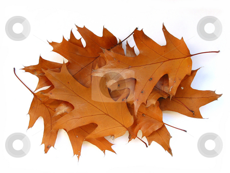 Fall oak leaves on white background stock photo, Bunch of fall oak leaves on white background by Elena Elisseeva