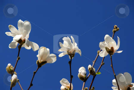 Blooming magnolia stock photo, Blooming magnolia on blue sky background by Elena Elisseeva