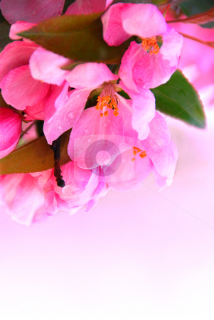 Apple blossom stock photo, Pink blossom of an apple tree with rain drops, white space for copy by Elena Elisseeva
