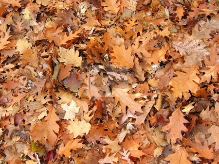 Fall oak leaves background stock photo, Background of warm brown fall oak leaves by Elena Elisseeva