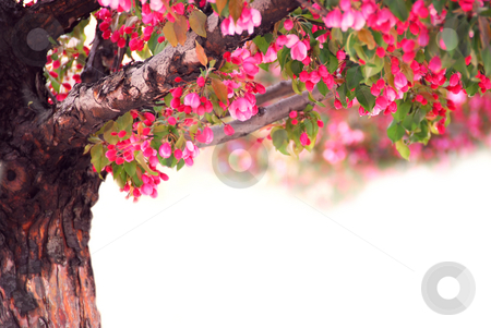 Apple tree stock photo, Blooming pink apple tree isolated on white background by Elena Elisseeva