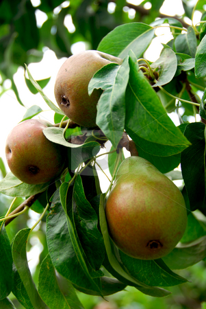 Pears stock photo, Pears on a branch of a pear tree in orchard by Elena Elisseeva