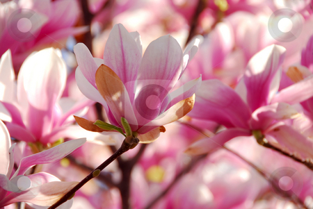Blooming magnolia stock photo, Background of blooming magnolia tree with big pink flowers by Elena Elisseeva