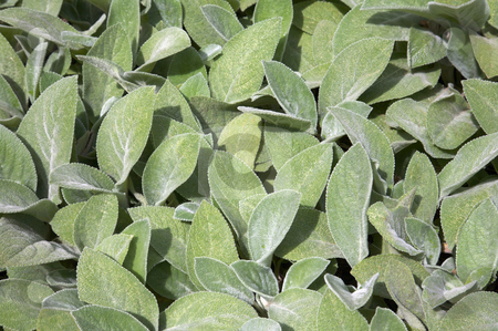 Lamb's Ear leaves stock photo, A low grower that is good for edging borders and it grows fast and spreads quickly.  Soft, fuzzy gray leaves.  Small purple flowers bloom from thick erect stems. by Mitch Aunger