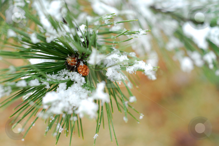 Snowy pine branch stock photo, Snowy branch of pine with needles covered in snow by Elena Elisseeva
