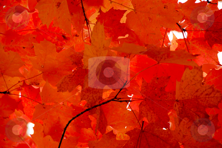 Red maple leaves stock photo, Bright red fall maple leaves background by Elena Elisseeva
