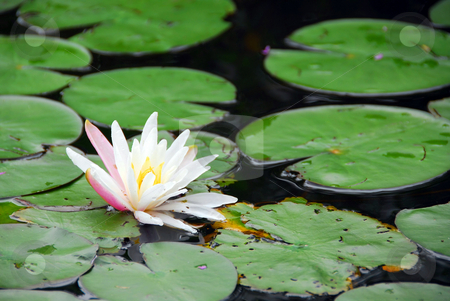 Water lily blooming stock photo, Blooming water lily close up by Elena Elisseeva