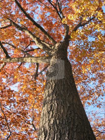 Old oak tree in the fall 1 stock photo, Old oak tree in the fall with bright blue sky by Elena Elisseeva
