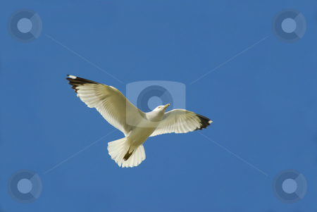 Flying bird stock photo, Flying seagul in blue sky by Elena Elisseeva