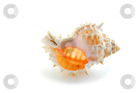 Sea shell stock photo, Sea shell on white background by Elena Elisseeva