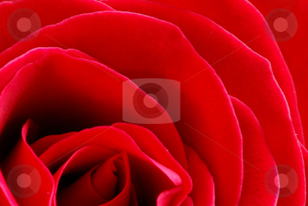 Red rose stock photo, Macro image of a beautiful red rose by Elena Elisseeva
