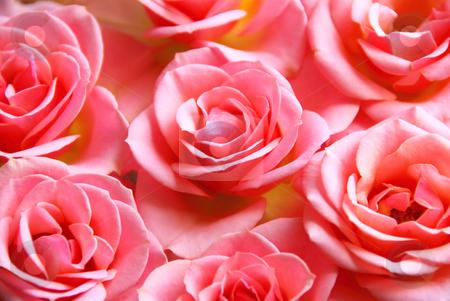 Pink roses stock photo, Botanical flower background of pink rose blossoms by Elena Elisseeva