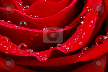 Red rose stock photo, Extreme macro image of a red rose petals with dew drops by Elena Elisseeva