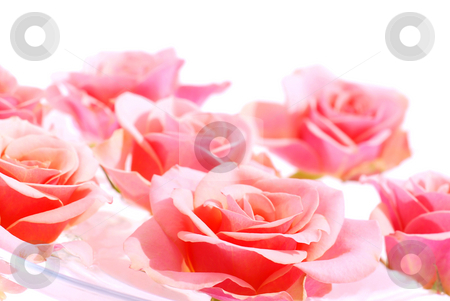 Pink roses stock photo, Pink roses floating in water with white space for copy by Elena Elisseeva