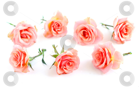 Rose blossoms stock photo, Rose blossoms on white background by Elena Elisseeva