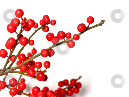 Red christmas berries stock photo, Berry tree christmas decoration on white background by Elena Elisseeva