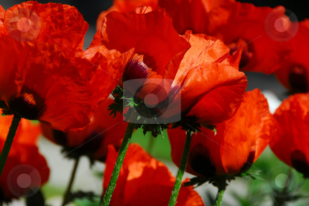 Island poppies close stock photo, Big Island poppies growing in a garden, closeup by Elena Elisseeva
